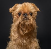 Dog portrait , breed Brussels Griffon