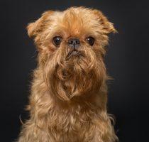 Dog portrait , breed Brussels Griffon