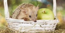 Hedgehog in a basket with apple