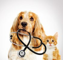 portrait vet dog spaniel And a kitten on a gray background